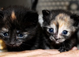 These two tiny female kittens are part of the 22 abandoned at the Gananoque and District Humane Society on April 24.