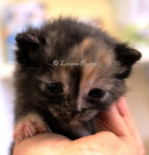 This tiny little girl, small enough to rest comfortably in the palm of a hand, was one of the 22 kittens abandoned at the Gananoque and District Humane Society on April 24. It is not yet known how many are males, how many females, or how many will survive this tragic experience.