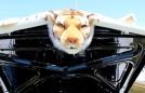 A tiger riding a 1965 goat (GTO)