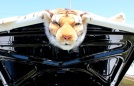 A tiger riding a 1965 goat (GTO)